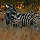 Zebra parenting by PBreedveld