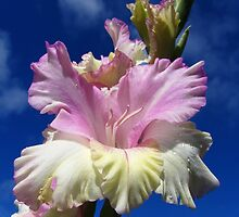 Pink and yellow gladiolus by flips99