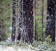 pine forest      by mrivserg