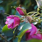 Pink Rose by alexandriaiona