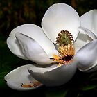 Magnolia Grandiflora by cclaude