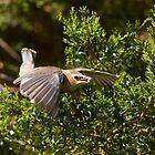 Feeding Juvenile Cedar Waxwing by Janika
