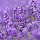 Prime Lavender by Chris Tarling