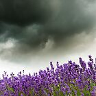 Storm Over Lavender by Chris Tarling