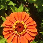 Orange Zinnia Delight by Christine &quot;Xine&quot; Segalas