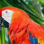 Tropical Scarlet Macaw by Samantha Dean