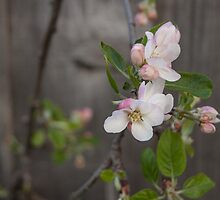 Apple Blossoms by GSakamoto