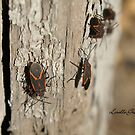 Boxelder Bug Congregation by Lorelle Gromus
