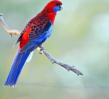 Crimson Rosella At Cedar Creek. Queensland, Australia. by Ralph de Zilva