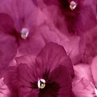 """""""Pink Pansy iphone cover..."""" by Rosehaven"""