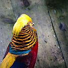 Golden Pheasant (Chrysolophus pictus) by Lisa Marie Robinson