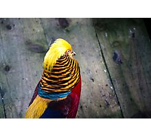 Golden Pheasant (Chrysolophus pictus) Photographic Print