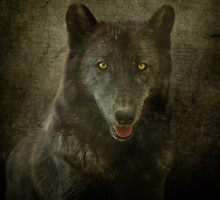 Timber Wolf by Sandy Keeton