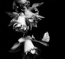 Daffodils by Josie Jackson