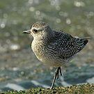 Grey Plover (Winter Plumage) by Robert Abraham