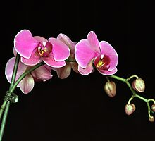 Purple Orchid by Marija