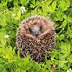 Hedgehog by photogliveco
