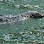 Harbour (Common) Seal by fg-ottico