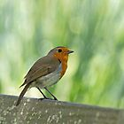 European Robin Perched by Sue Robinson
