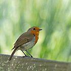 European Robin Perched by Sue Robinson