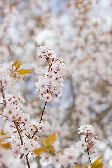 Spring Blossoms by desertsea