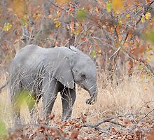 Baby elephant by jeff97