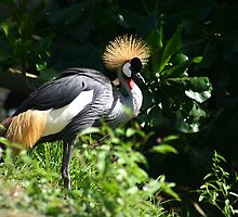 Chinese Crowned Crane by Colin Shepherd