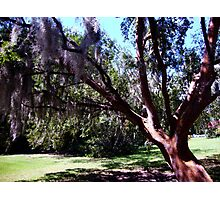 Live Oak Tree... Photographic Print