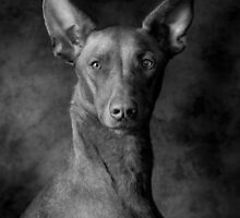 Pharaoh Hound by Mark Cooper