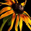 Last Day of a Black-eyed Susan by onyonet photo studios