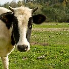 Young Cow by Kuzeytac