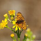 provencal fritillary by Steve Shand