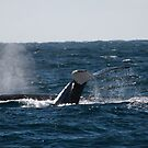 Whale diving showing tail fin downward, Australia by Sharpeyeimages