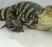 LillyGator With Red Nails by Angela Lance