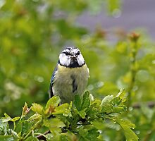 Blue Tit with Food in Rain by Sue Robinson