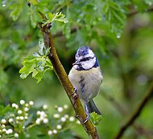 Blue Tit in Hawthorn by Sue Robinson