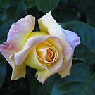 Yellow rose by Karin Zeller