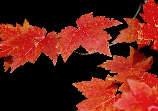 Maple Leaves in Autumn by Laurie Minor