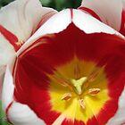 Triumph Tulip named Carnaval de Rio by JMcCombie