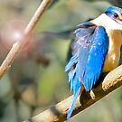 Kingfisher - Macquarie Pass  by Ryan Conyers