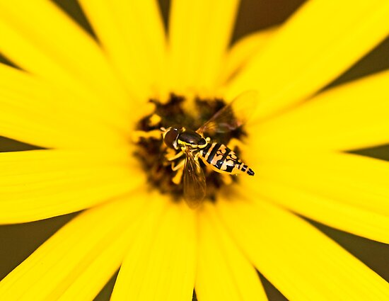 Toxomerus Hover Fly by Otto Danby II