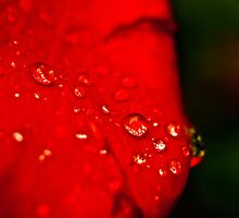 dew on a rose by 60nine
