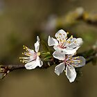 White Blossom with raindrops by Sue Robinson