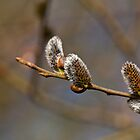 Catkins in Sunlight by Sue Robinson