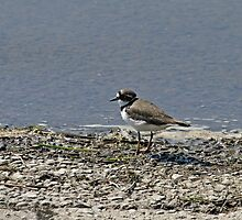 Little Ringed Plover by Sue Robinson