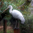 Spoonbill - Cleland Wildlife Park, Mt Lofty, Adelaide Hills, SA by Mark Richards