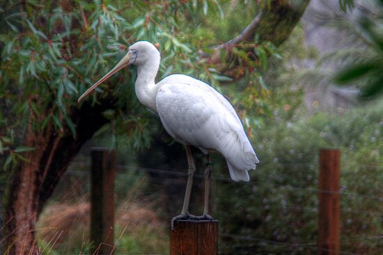 Spoonbill - Cleland Wildlife Park, Mt Lofty, Adelaide Hills, SA by Mark Richards