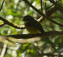Yellow Robin, South Gippsland, Australia by Fiona Lokot