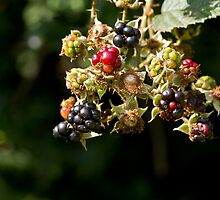 Blackberries Ripening by Sue Robinson
