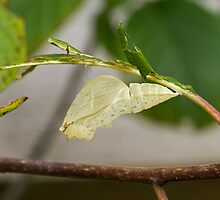 Empty Chrysalis case of Brimstone butterfly by Sue Robinson
